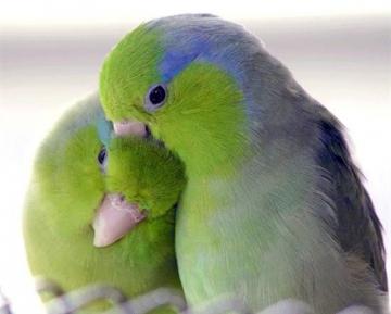 Sfatul zilei: cum sa aveti grija de papagalii dvs.
